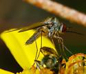 unidentified Diptera 2 - Geron calvus
