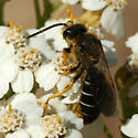 black and white bee - Halictus rubicundus - male