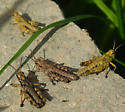 Grasshoppers near Mt. Rainier - Prumnacris rainierensis