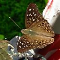 Friendly butterfly - Asterocampa celtis