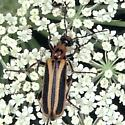 Blister Beetle on Queen Anne's Lace - Pyrota mutata