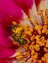 Sweat Bee in Portulaca Flower