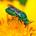 Cuckoo wasp on Coreopsis lanceolata - Parnopes - male