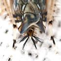 Leafhopper - Scaphoideus - female