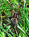 Big Spider! - Tigrosa helluo