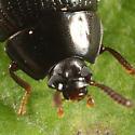 Darkling Beetle - Platydema excavatum - female