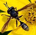 Thick-headed Fly - Physocephala furcillata