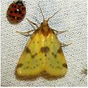 Azenia obtusa - Hodges #9725 - Azenia obtusa