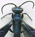 Blue Mud Wasp - Chalybion californicum - female