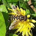 Eristalini 01b - Helophilus fasciatus - female