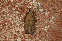 Moth - Glyphidocera juniperella