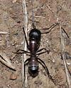 western carpenter ant - Camponotus vicinus - worker? - Camponotus vicinus
