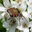 Bee-Like Flower Scarab - Trichiotinus piger