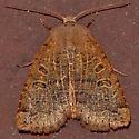 Moth 75 - Sericaglaea signata