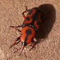 Unknown Beetle - Rhynchophorus cruentatus
