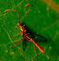 wasp - Grotea californica
