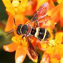 bee - Epeolus bifasciatus - male