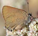 Satyrium auretorum - female