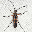 Flower Longhorn Beetle  - Strangalia famelica