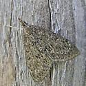 Saucrobotys fumoferalis maybe - Saucrobotys fumoferalis