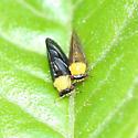 Psyllids - Calophya nigripennis