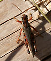 Reddish Grasshopper - Melanoplus sanguinipes - male