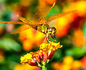 Mexican Amberwing? - Perithemis intensa - male