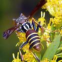 Paper Wasp - Polistes dorsalis