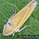 Leafhopper 6 - Graphocephala versuta