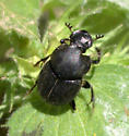 Beetle ID Request - Onthophagus hecate - male