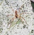 Spider on Underside of Damaged Redbud Leaf - Dolomedes