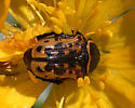 beetle - Euphoria kernii