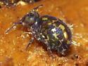 Globular Springtail - Ptenothrix