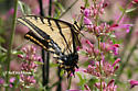 Probable Two-tailed Swallowtail - Papilio multicaudata - male