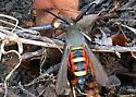 Clearwing Moth - Melittia gloriosa
