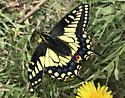 ID request Papilio polyxenes? - Papilio zelicaon