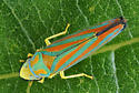 Leafhopper---G. coccinea or not? - Graphocephala