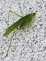 Unknown katydid  - Scudderia furcata - female