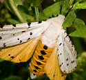 Large orange and white moth - Estigmene acrea
