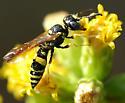 Philanthus gibbosus - female