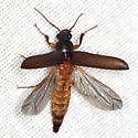 Selonodon Click Beetle - Selonodon - male