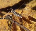Water Strider - male - female