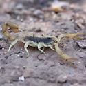 Hadrurus arizonensis? - Hadrurus arizonensis