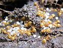 Yellow Ants - Lasius