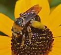 Bee 0607 - Svastra obliqua - female