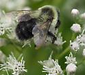 Bee on Eupatorium perfoliatum - Bombus impatiens