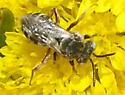 small wasp - Epeolus