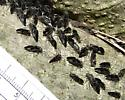 Facinating looking insect clusters!  Common barklice  - Cerastipsocus venosus