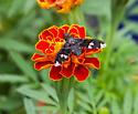 Dorcadion Bee Fly  - Exoprosopa dorcadion