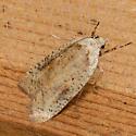 Gorse Tip Moth - Agonopterix nervosa